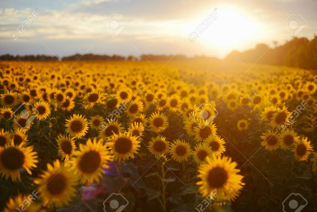 Sunflower field landscape. field of blooming sunflowers on a bac